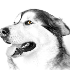 Alaskan Malamute  by Lisa Kirkwood - Animals - Dogs Portraits ( black and white, happy, alaskan malamute, dog portrait, smile, dog )