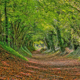 Autumn Tunnel by Tim Clifton - Landscapes Forests