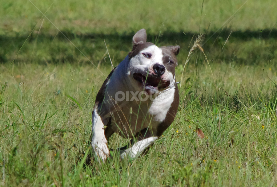 by Kris Pate - Animals - Dogs Running
