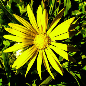 Yellow Flower by Jacob Woolwine - Novices Only Flowers & Plants ( pedals, jacob, flower )