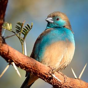 Blue waxbill by Hannes van Rooyen - Animals Birds ( blue, waxbill, adult, birds,  )