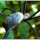 Black-legged Golden Silk Orb-web spider