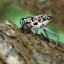 Long legged weevil