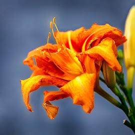 Yellow lily by Radu Eftimie - Flowers Single Flower ( lily; yellow )