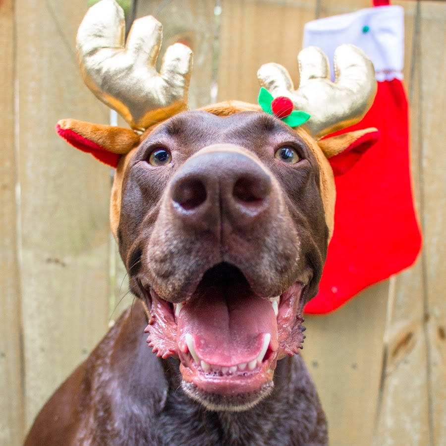 OMG by Meaghan Browning - Animals - Dogs Portraits ( holiday, happy, christmas, dog, gsp )