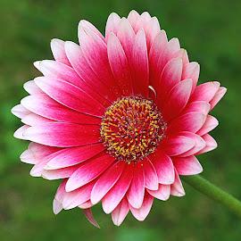 Gerbera by Chrissie Barrow - Flowers Single Flower ( stigma, red, single, stamens, petals, green, pink, yellow, bokeh, gerbera, flower )