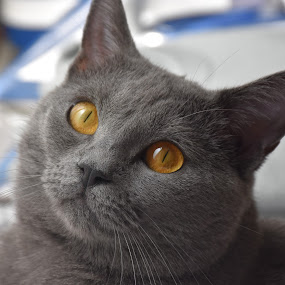 Joconde de Ventadour by Isabelle Ebens - Animals - Cats Portraits ( cat, chartreux, amber )