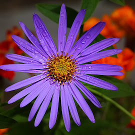 Aster aster by Gérard CHATENET - Flowers Single Flower