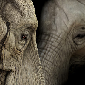 Elephant 0284 by Patrick Hayes - Animals Other Mammals ( hayes, elephant, grey, eye )