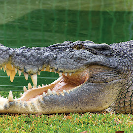 Elvis the Croc by Kingie Photos - Novices Only Wildlife ( salt water crocodile )