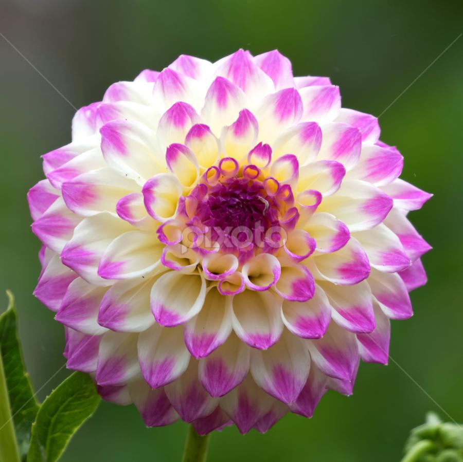 Dahlia 9944 by Raphael RaCcoon - Flowers Single Flower