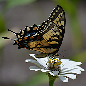 Keep in touch by Raymond Earl Eckert - Animals Other ( beauty; beautiful; color; colorful; swallowtail; butterfly,  )