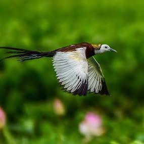 Pheasant-tailed jacana  by Maroof Rana - Animals Birds ( bird, flying, nature, wildlife, birds )