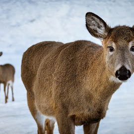 Deers  by Mindy Morin - Animals Other