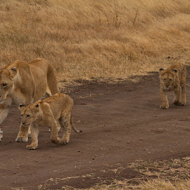 Lions & Cubs by Steve Randall - Animals Lions, Tigers & Big Cats ( morning walk, ngorongoro conservation area, karatu, lions & cubs, cubs, lions, africa, tanzania, munge river )
