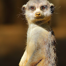 Suricate au soleil by Gérard CHATENET - Animals Other Mammals