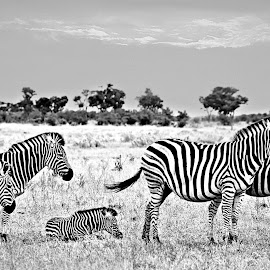 Zebra at dawn by Pieter J de Villiers - Black & White Animals