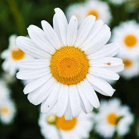 Daisy by Mike Tricker - Flowers Flowers in the Wild ( flowers, flowering plants, daisy, daisys, flower )