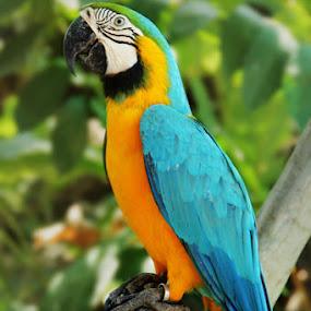 Burung Kaka Tua by Joseph Basukarno - Animals Birds ( bird, burung, kaka tua, parrots )