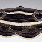 Double White Banded Noctuid