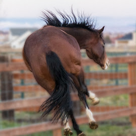 Rena's Jump by Paul Hoy - Animals Horses ( horse, jump )