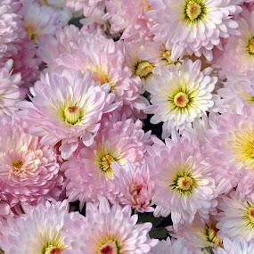 CHANDRAMALLIKA PINK #1 by Debanjan Goswami - Flowers Flower Gardens (  )
