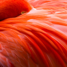 Flamingo by John Souza - Animals Birds ( bird, red, nature, flamingo, fine art, pink, feather, natural, mammal, eye, animal )