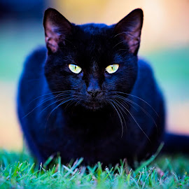 You Crossed My Path by Sabrina Causey - Animals - Cats Portraits ( cat, 70-200, dof, mammal, black cat, black, eyes, animal,  )