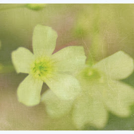 Delicate by Prasanta Das - Digital Art Things ( delicate, white, flowers )