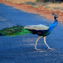 Indian peafowl - Peacock- மயில் (Mayil)