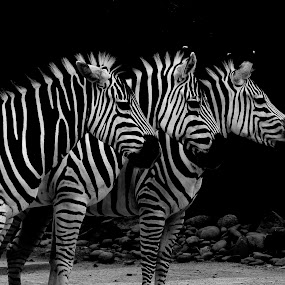 3 zebras by Adam Scarf - Animals Other ( animals, patterns, zoo, black and white, 3 zebras, three, bnw, africa )