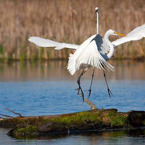 Great Egrets Fighting, or courting? by Rachel Bilodeau - Animals Birds ( great egret grande aigrette )