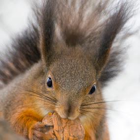 Eurasian red squirrel (Sciurus vulgaris) by Lajos E - Animals Other Mammals ( sciuridae, eurasian, europe, walnut, vulgaris, sciurus, mammal, european, red, nut, eating, eat, small, rodents, squirrel,  )