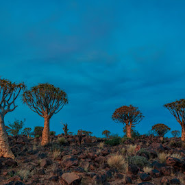 Quiver Trees by Johan Jooste Snr - Landscapes Deserts ( hill, quiver trees, blue hour, rocky, trees, keetmanshoop, namibia )