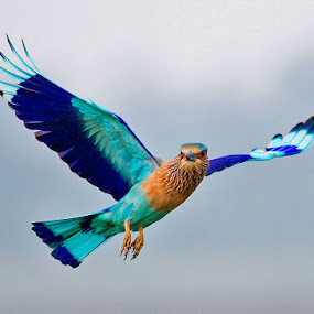 INDIAN ROLLER in flight.. . by Mohan Munivenkatappa - Animals Birds
