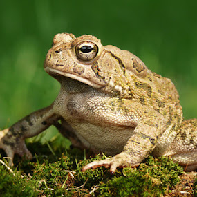 Toad on Moss by Josh Mayes - Animals Amphibians ( grass, green, moss, toad, close-up )