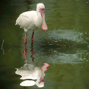 White spatula by Gérard CHATENET - Animals Birds