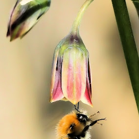 Bee with Allium siculum 13 2 by Val  Ford - Animals Insects & Spiders