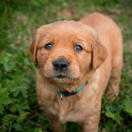 Little beauty by Linda Marhaug - Animals - Dogs Puppies ( puppy, dog, puppy portrait )