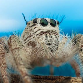 Spider by Asher Lwin - Animals Insects & Spiders ( macro, nature, blue, jumping spider, close up )