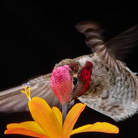 Summertime Sipping by Briand Sanderson - Animals Birds ( black background, bird, adult male, orange flower, crocosmia, hummingbird, male, adult, anna's hummingbird, flower, animal,  )
