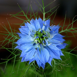 Nigella by Chrissie Barrow - Flowers Single Flower ( stigma, nigella, single, stamens, blue, petals, green, leaves, love-in-a-mist, bokeh, garden, flower )
