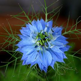 Nigella by Chrissie Barrow - Flowers Single Flower ( stigma, nigella, single, stamens, blue, petals, green, leaves, love-in-a-mist, bokeh, garden, flower,  )