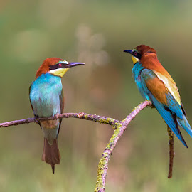 Bee eaters by Roberto Melotti - Animals Birds ( european bee-eater, roberto melotti, passerine, merops apiaster, nikon d810, bee eaters, italy, passerine birds, birds, bee eater, european bee-eaters )
