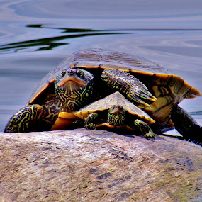 Getting A Little Sun by Howard Sharper - Animals Reptiles ( turtles, reptiles, nature up close, riverside, wildlife,  )
