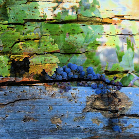 End of a Season by Leslie Hunziker - Digital Art Things ( fence, vineyard, grapes, withering, fall )