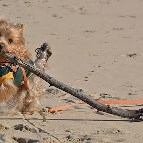Playing Fetch by Danette de Klerk - Animals - Dogs Running ( canine, playing, fetch, animals, stick, dogs, dog, running, animal )