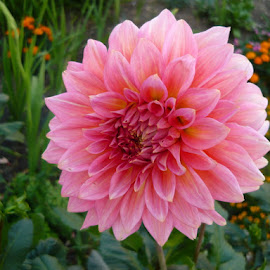 Dahlia by Helena Moravusova - Flowers Flower Gardens ( pink, dahlia, flower )