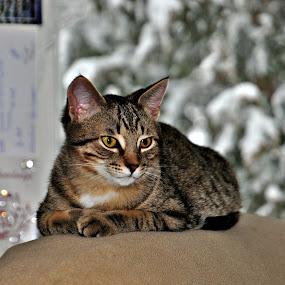 Dodge  by Debbie Johnson MacArthur - Animals - Cats Portraits ( cats )