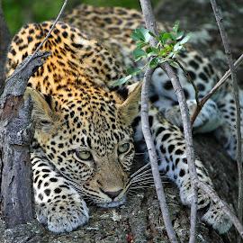 Leopard Cub by Anthony Goldman - Animals Lions, Tigers & Big Cats ( big cat, wild, predator, tree, nature, south africa, wildlife, londolozi, female.xidulu, leopard )